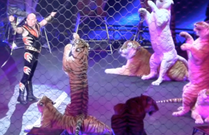ringling brothers barnum bailey built to amaze tigers